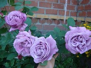 посадка плетистой розы весной