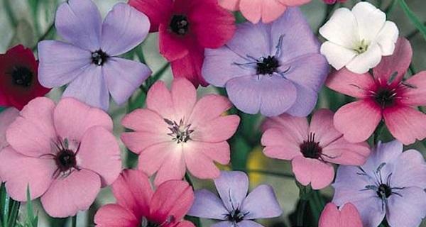 вискария фото цветов