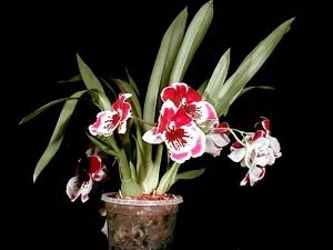 орхидея мильтония уход