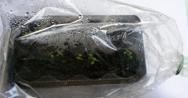 эониум из семян