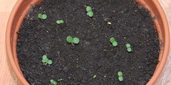 лантана из семян