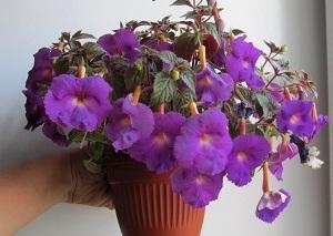 ахименес комнатные растения