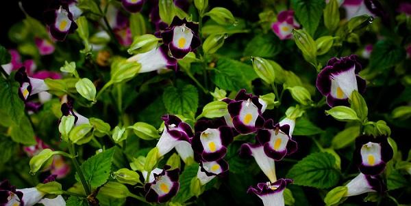 цветок торения фото