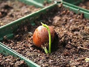 как посадить каштан из ореха весной