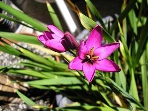 цветок иксия посадка и уход фото