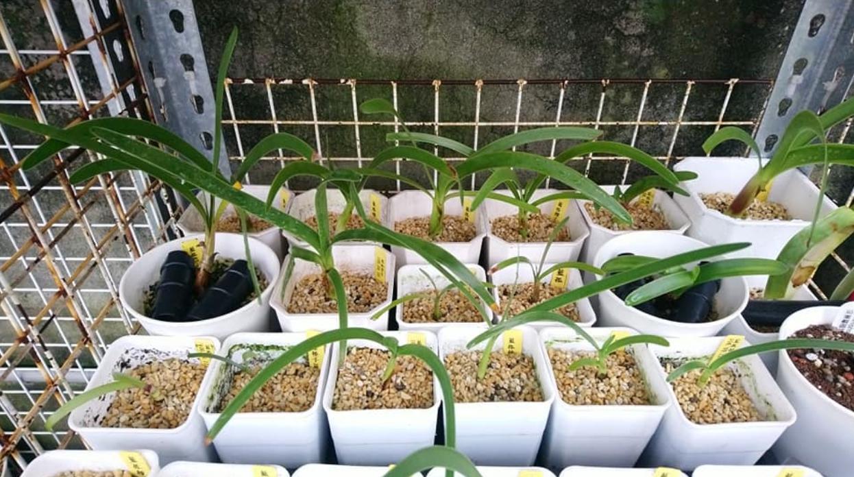Выращивание Ворслеи