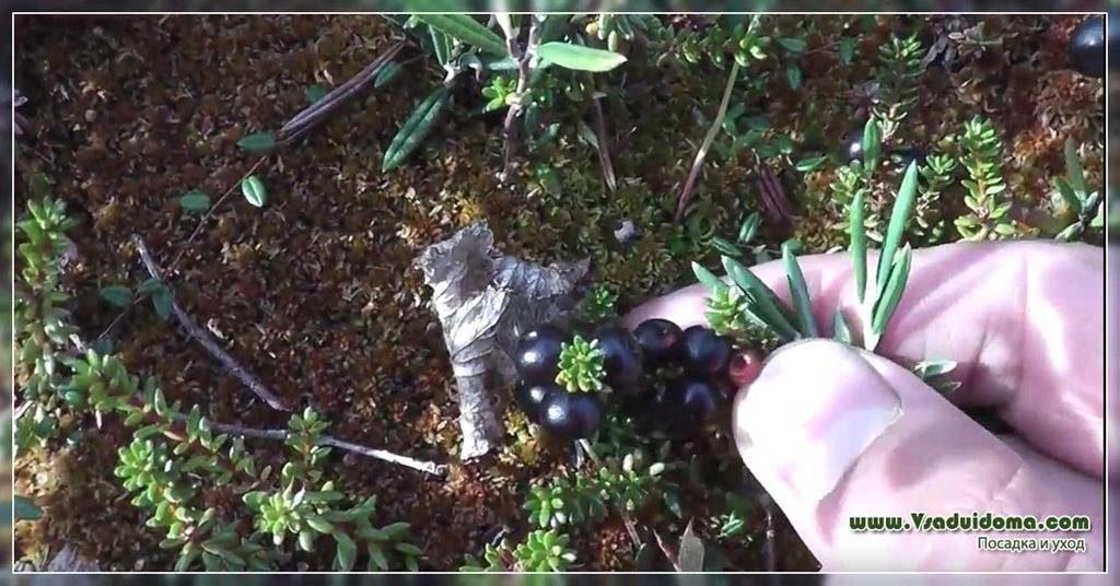 Посадка шикши в саду