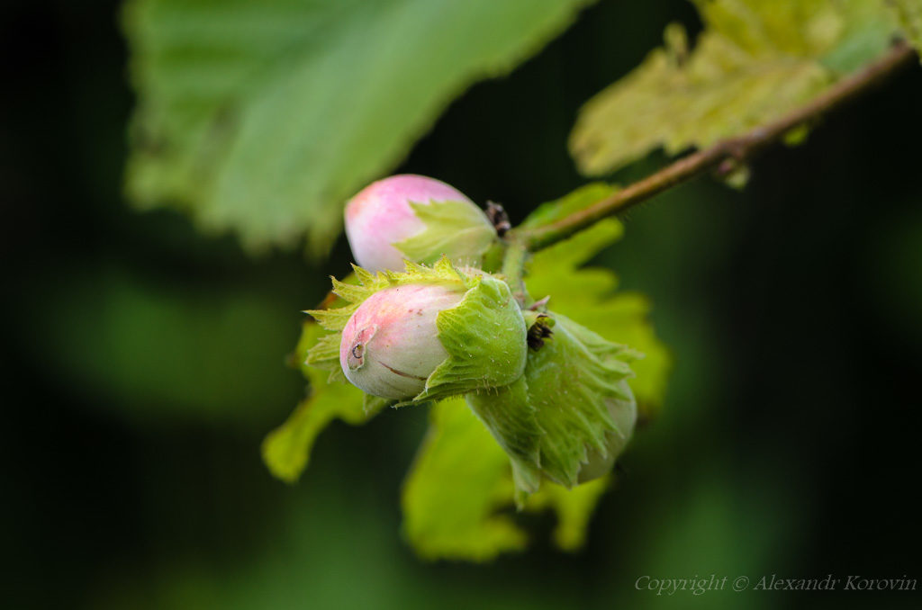Цветение лещины