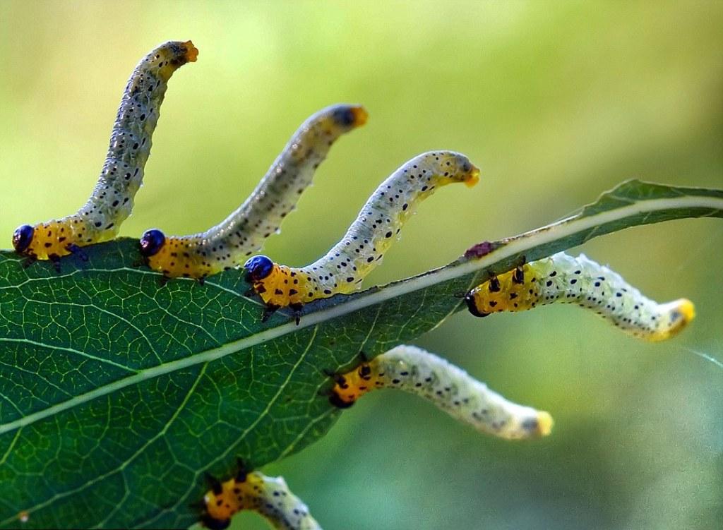 Гусеницы на мушмуле