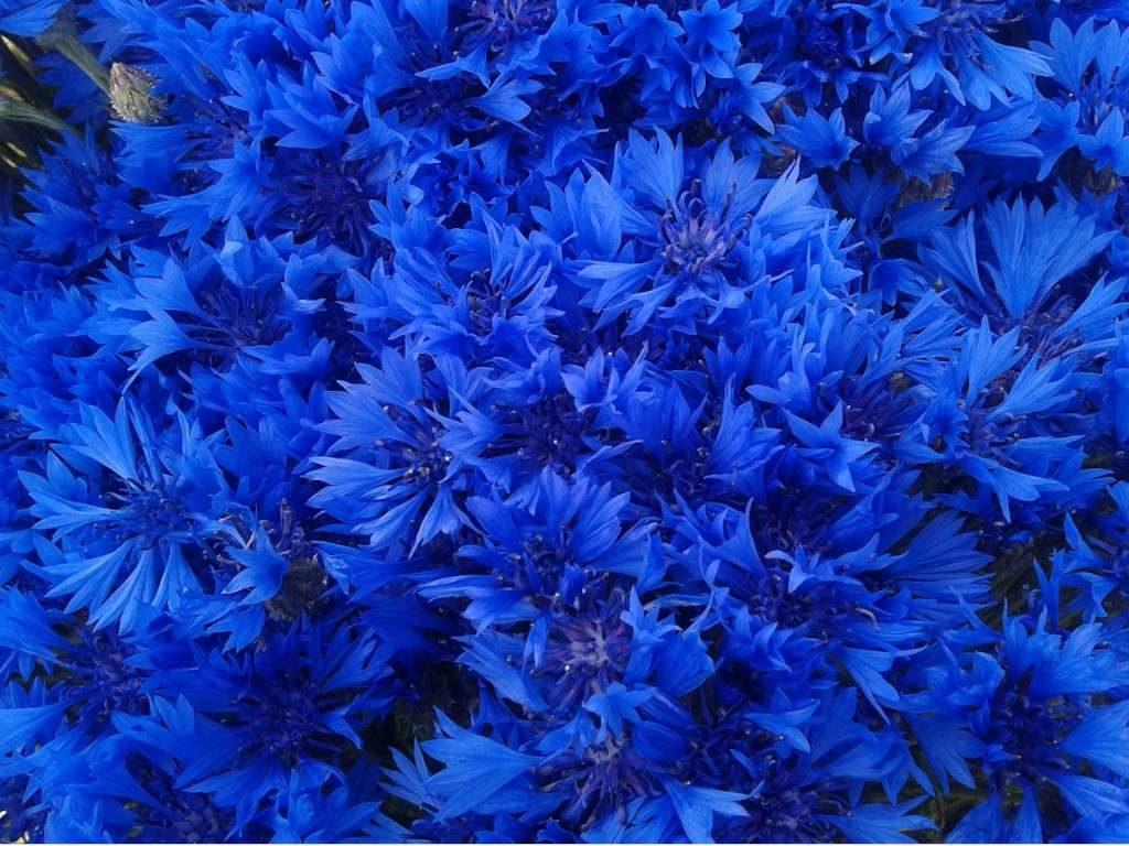 Синий василек