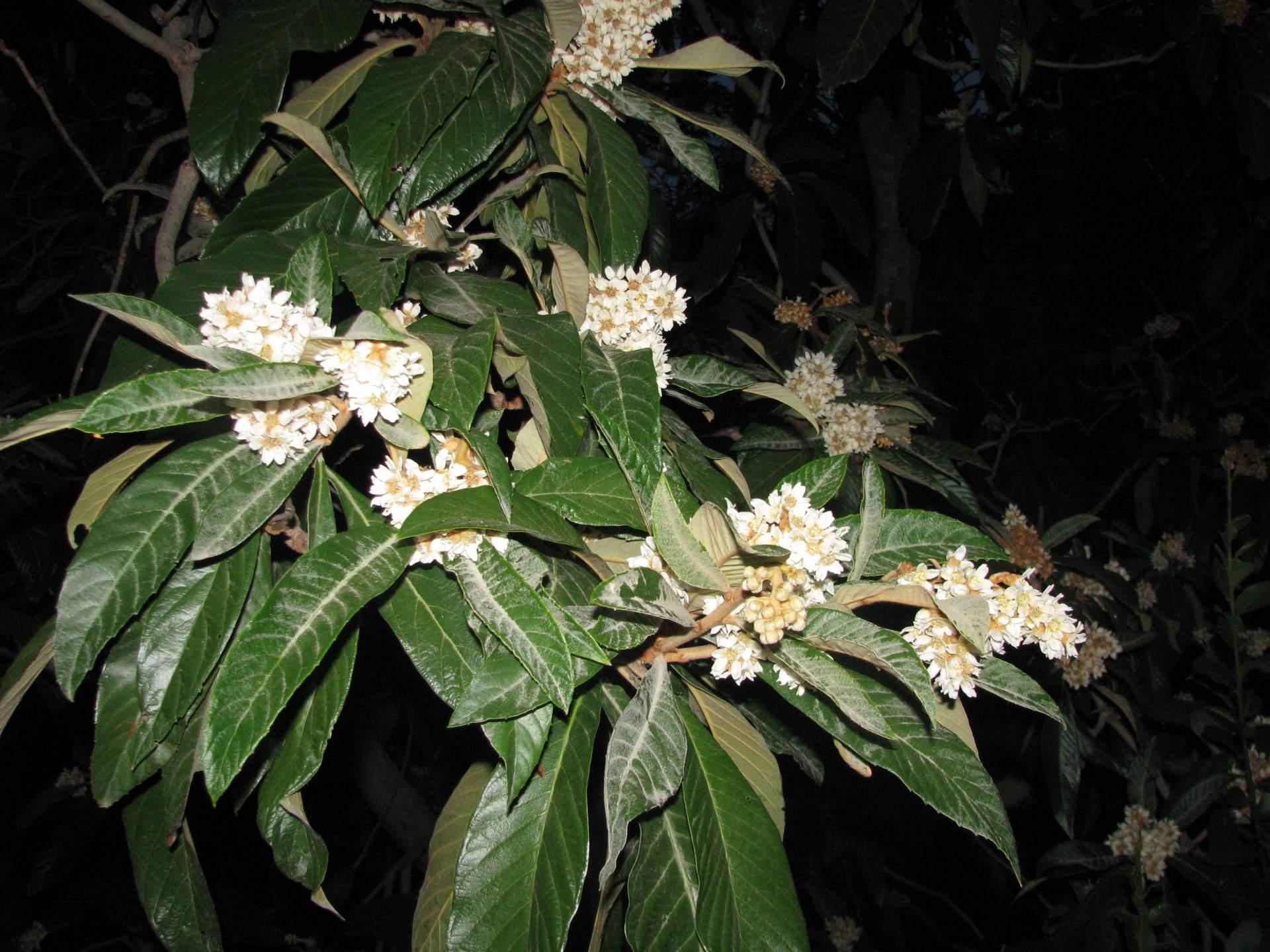 Цветет мушмула