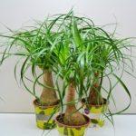 Бутылочное дерево или Нолина: уход в домашних условиях за растением с мясистыми листьями и толстым стволом