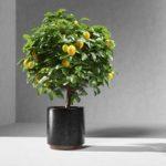 Как вырастить лимон из косточки в домашних условиях и как создать оптимальные условия для произрастания тропического деревца