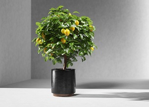 как посадить косточку лимона и вырастить дерево