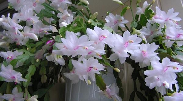 декабрист цветок фото