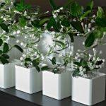 Мадагаскарский жасмин или стефанотис: уход в домашних условиях, нюансы обрезки и формирования лианы для обильного цветения
