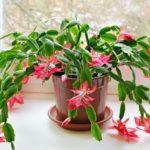 Зигокактус или цветок декабрист: уход в домашних условиях за растением с яркими красками, пышной зеленью и эффектным цветением