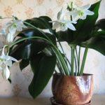 Роскошная амазонская лилия или эухарис: уход в домашних условиях за эффектным растением с крупными зелеными листьями и чудесными белыми цветами