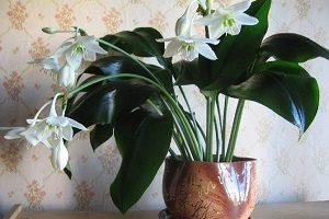 правила выращивания эухариса в домашних условиях