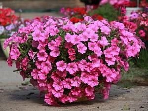 бальзамин садовый фото
