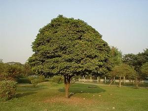 манго из косточки в домашних условиях выращивание