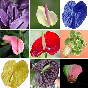 цветок антуриум