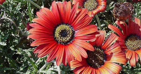 цветы арктотис посадка и уход фото