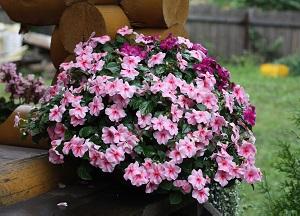 особенности выращивания садового бальзамина на участке