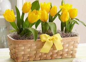 как выгнать тюльпаны дома