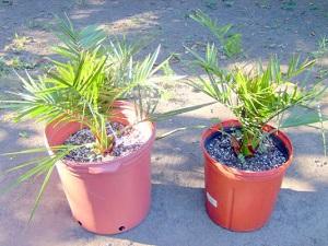 финиковая пальма в домашних условиях уход из косточки