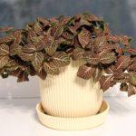 Травянистое многолетнее растение фиттония: уход в домашних условиях, полив, пересадка и размножение цветка с экзотическим красочным видом