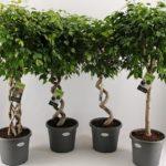 Блестящий Фикус Бенджамина: уход в домашних условиях, фото вечнозеленого деревца с глянцевыми листьями