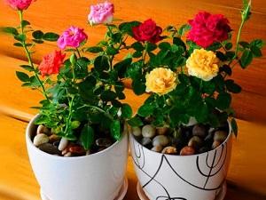роза кордана микс уход в домашних условиях