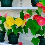 Горшечный кустарник абутилон или комнатный клен: уход в домашних условиях, полив и освещение, пересадка и подкормка растения