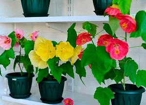 правила выращивания комнатного клена