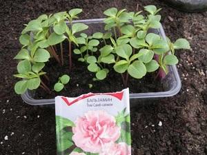цветы бальзамин садовый фото