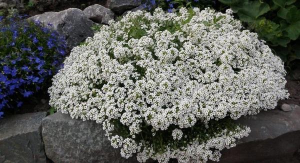 лобулярия выращивание из семян