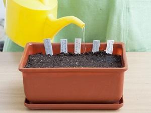 как сажать бархатцы на рассаду из семян