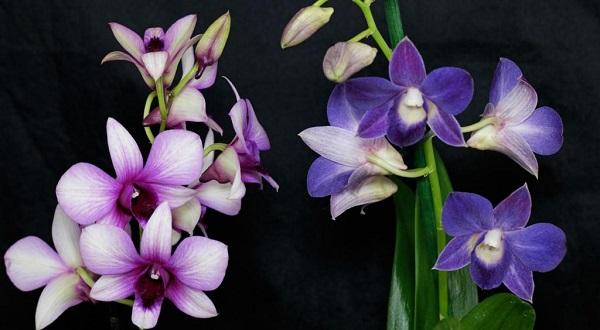 орхидея дендробиум пересадка