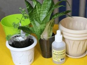полив цветов перекисью водорода пропорции
