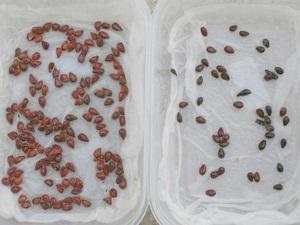 стратификация семян дельфиниума в домашних условиях
