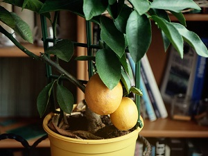 выращивание лимона в домашних условиях из косточки