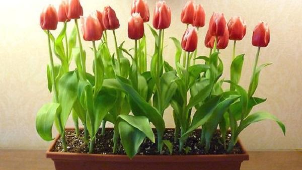 выгонка тюльпанов зимой в квартире