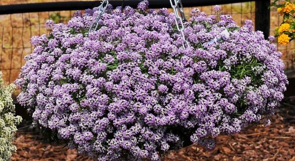 цветы лобулярия