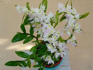 как пересадить орхидею дендробиум