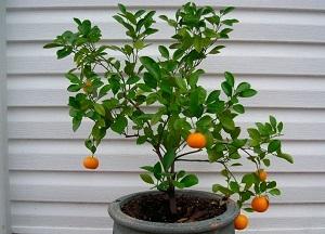 правила выращивания мандарина из косточки