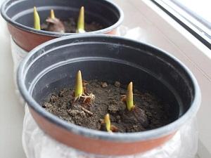 подкормка тюльпанов при выгонке