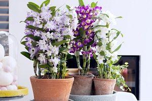 как выращивать орхидею Дендробиум в домашних условиях