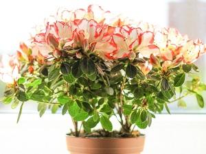 цветок азалии фото