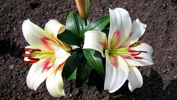 белая лилия цветок